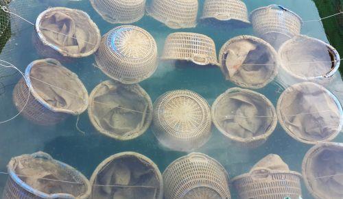 Oysters Farming