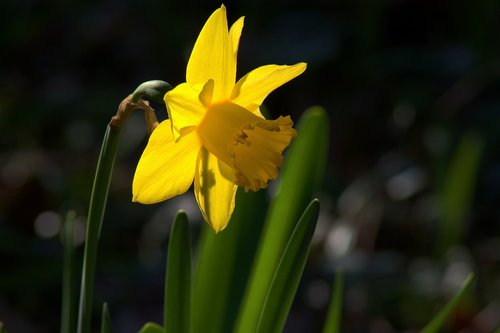 ozark backlit daffodil  garden  bloom