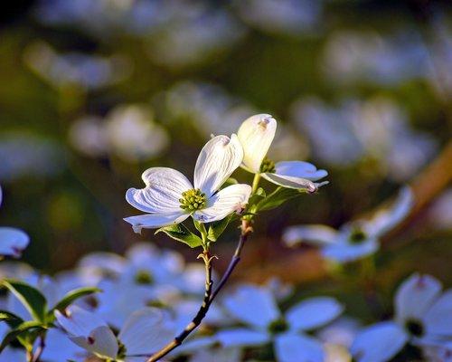 ozarks dogwood blossoms  dogwood  flowers