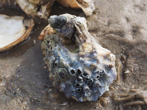 pacific oyster oyster shell