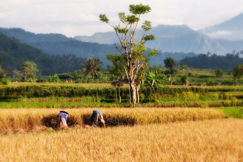 paddy bali rice cultivation