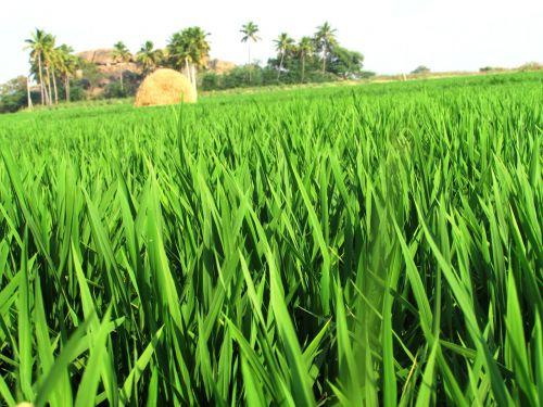 paddy fields rice