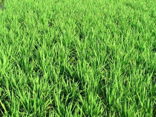 paddy fields greenery