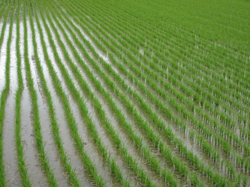 paddy field green plant