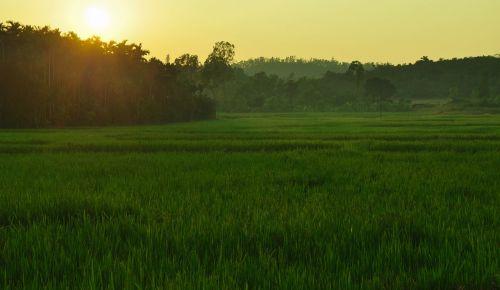 paddy field sunlight sagar