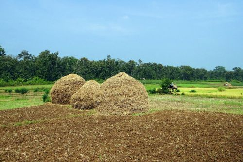 paddy harvest hay stack workers
