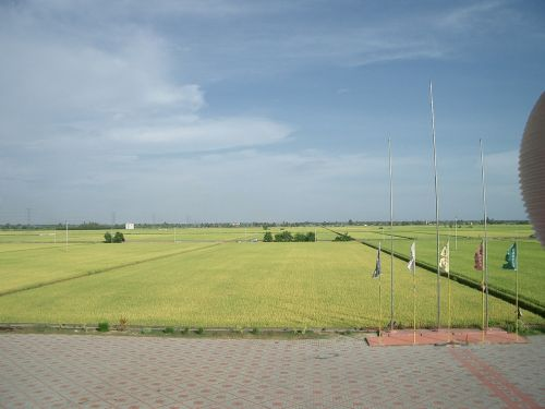padi field fields greenery