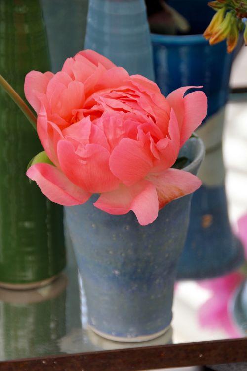 paeonia peony blossom