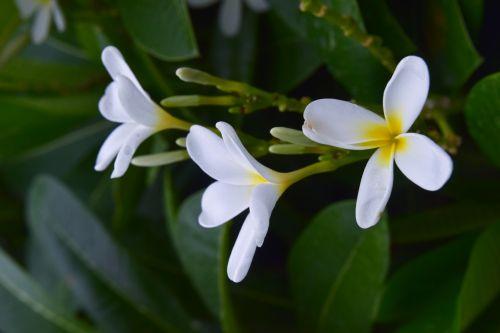 pagoda, gėlė, balta, gamta, medis, lapai, pagoda gėlės 3