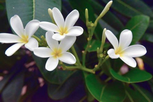 pagoda, gėlė, balta, gamta, medis, lapai, pagoda gėlės 4