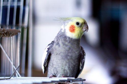 paige birdie cockatiel