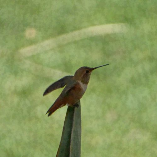 kolibris, sustingęs, sėdi, mielas, mažas, paukštis, paukštis, Bokeh, fonas, dažytos, dažytas kolibaras