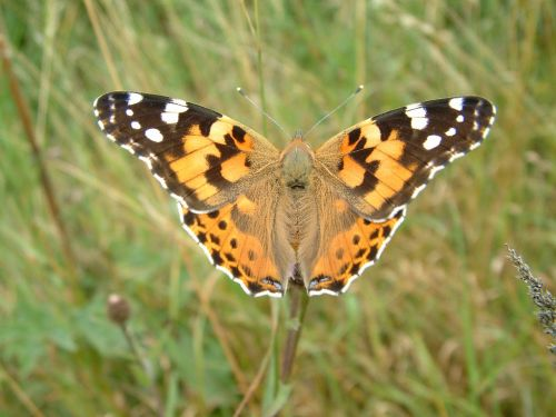painted lady vanessa butterfly