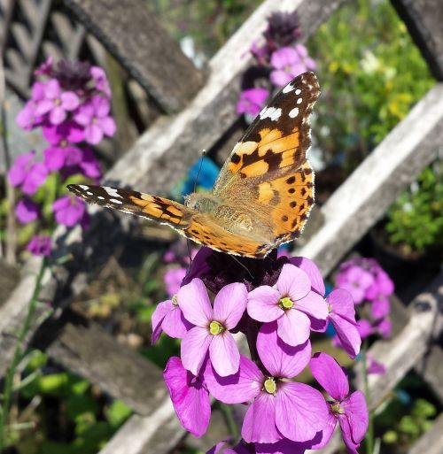 painted lady butterfly insect