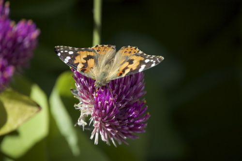 painted lady migration butterfly