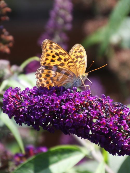 painted lady buddleja davidii butterfly
