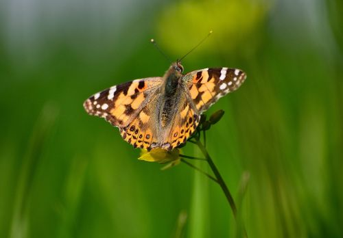 painted lady butterfly butterfly on mustard plant butterfly with green background