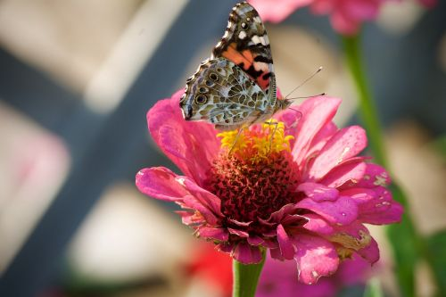 painted lady butterfly butterflies insect