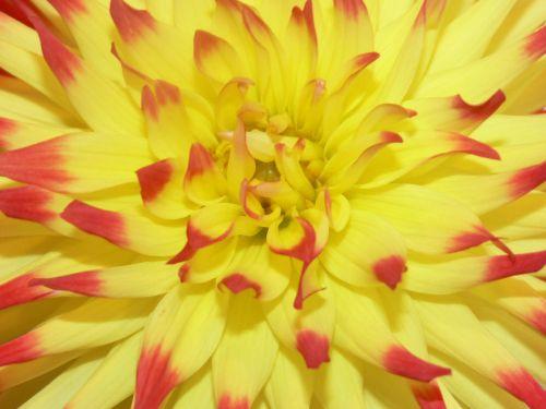 dažytos, abstraktus, meno, raudona, geltona, gėlė, žiedlapiai, dahlia, gėlių, graži, dažytos raudonos geltonos gėlės arti