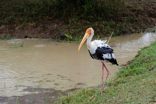 painted stork  bird  avian