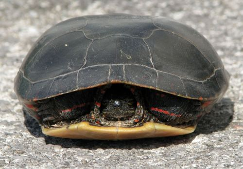 painted turtle chrysemys picta withdrawn