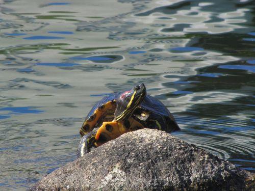 painted turtle pond rock