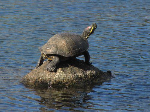 painted turtle boulder pond