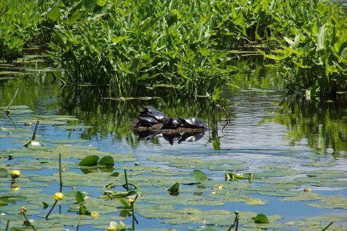 painted turtles marsh turtle
