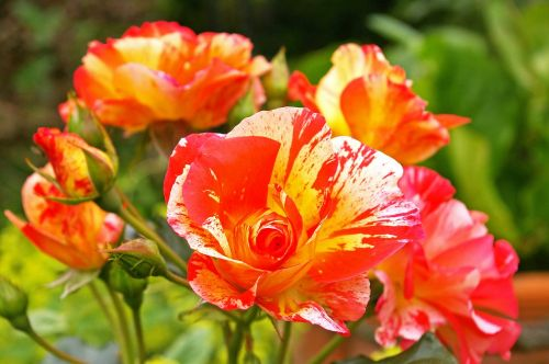 painter rose bicolor rose blossom