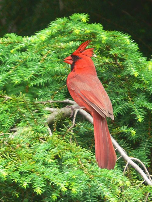 Painting Of A Red Cardinal