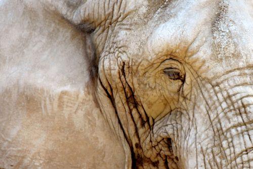 Painting Of Elephant's Eye