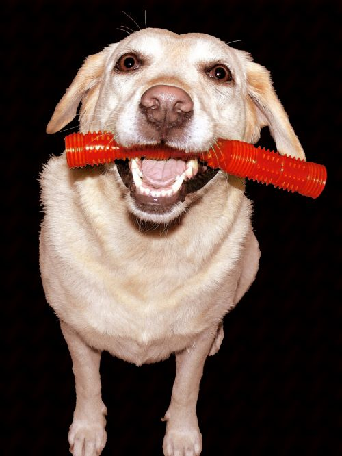 Painting Of Labrador With Toy