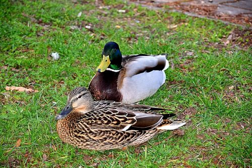 pair of ducks spring lovers