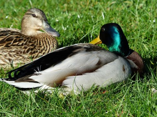 pair of ducks couple love