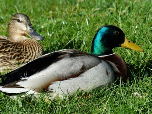 pair of ducks couple ducks