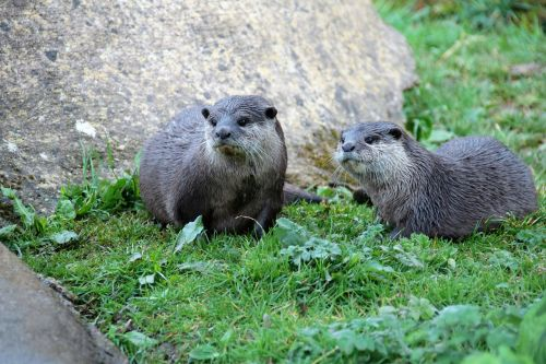 pair of otters otter mammal