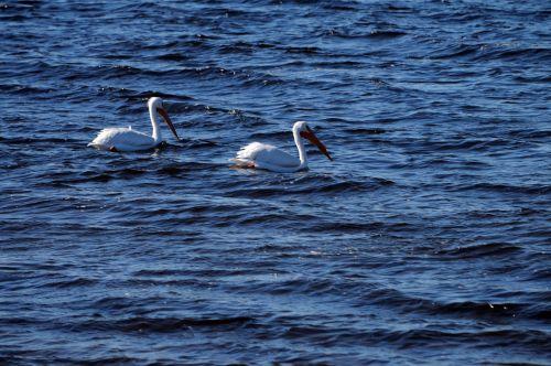 Pair Of White Pelicans Swimming