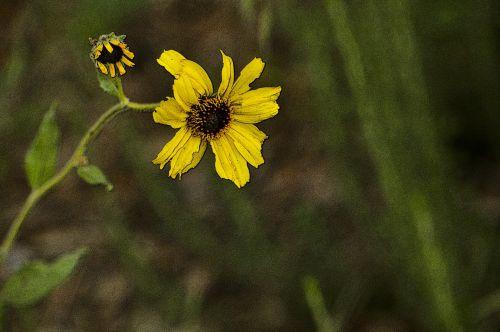 Pair Of Wild Sunflowers