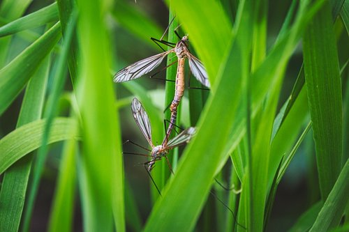 pairing  insect  mosquitoes