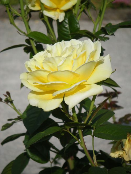 pale yellow rose summer bright