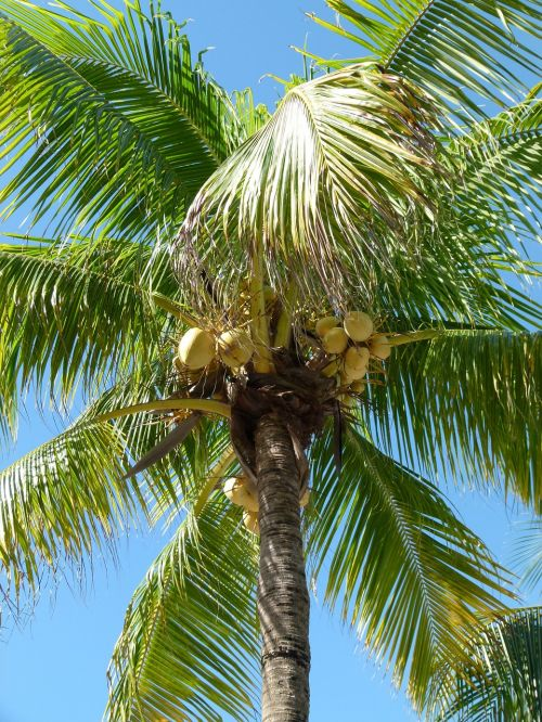 palm coconut tree coconut