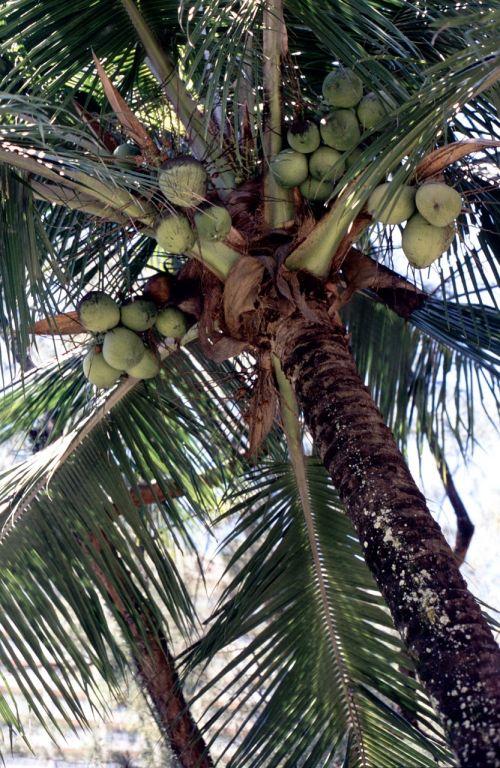 palm coconuts coconut tree