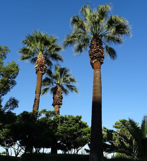 palm tree washingtonia filifera