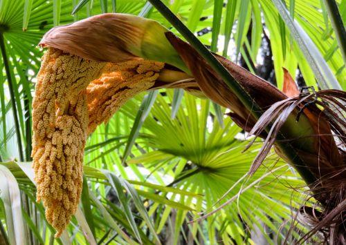 palm palm blossom blossom