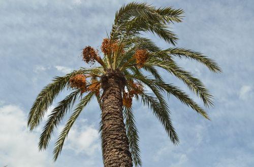 palm date-palm palm tree