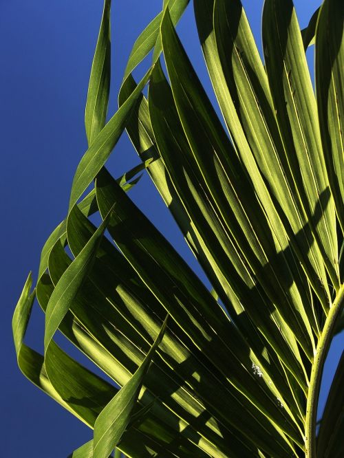 palm leaves young palm tree