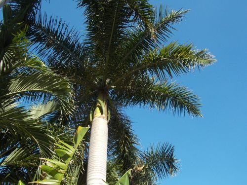palm palm branches date palm