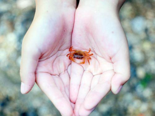palm crab japanese freshwater crab
