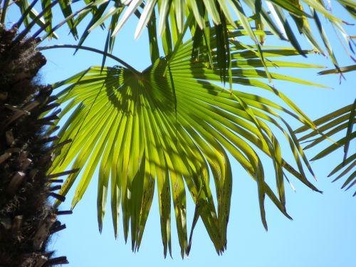 palm leaf wedel