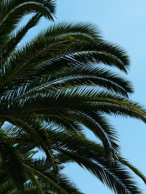 palm tree date palm